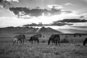 EarlySummerEvening-MaresAndFoals-¬2011BarbaraVanCleve